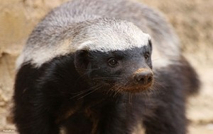 Honey Badger Looking